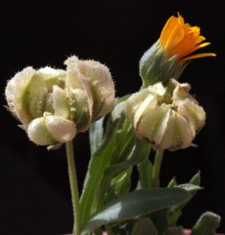 ציפורני-חתול מכונפות Calendula tripterocarpa Rupr.