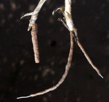 דנתוניית החולות Centropodia forskalii (Vahl) Cope