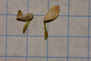 כותרת הפרחים הלשוניים אינה נושרת לאחר ההבשלה. צמחי הגולן והחרמון.