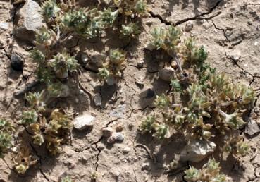 צמחי מדבר ננסיים, חסרי גבעול או שרועים, גובהם 8-5 ס