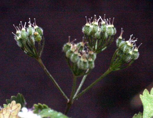 כמנון שעיר Pimpinella eriocarpa Banks & Sol.
