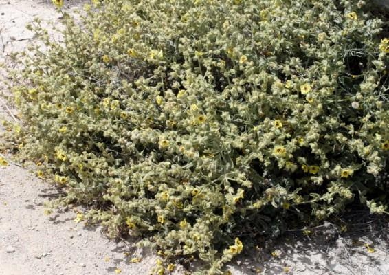 Verbascum fruticulosum Post