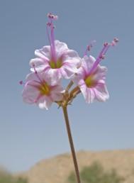 הפרחים ערוכים בסוככונים, צבע העטיף ורוד, אבקנים 3-2.