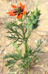צבע הכותרת כתום, קוטר הפרח הפתוח (1.5-)3.5-2.5 ס