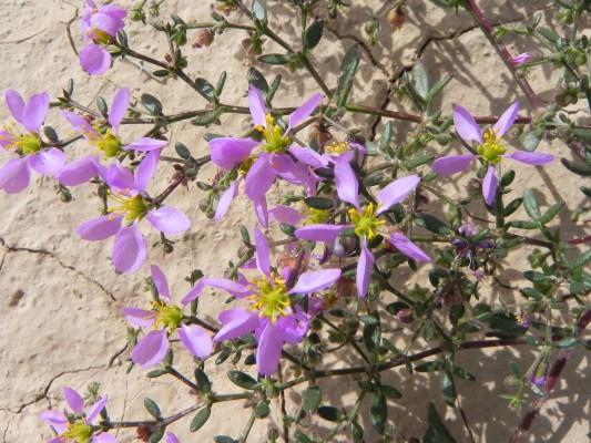 פגוניית סיני Fagonia scabra Forssk.