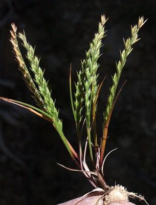 נרדורית מזרחית Loliolum subulatum (Banks & Sol.) Eig