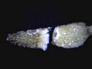 קחוון הנגב Anthemis melampodina Delile