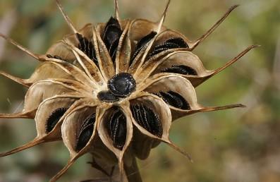מפוחיות ההלקט נפתחות בחלקן העליון והזרעים השחורים הפחוסים מופצים ברוח.
