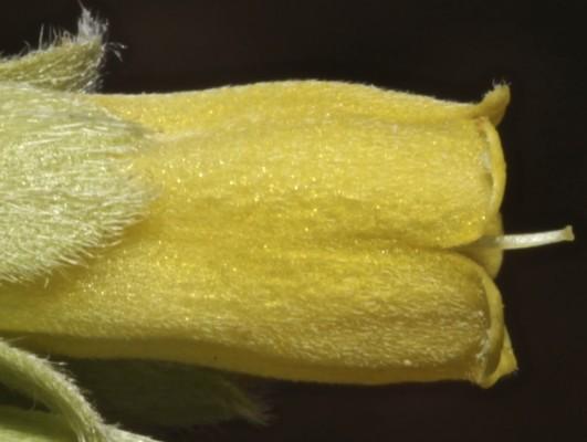 Onosma sericea Willd.