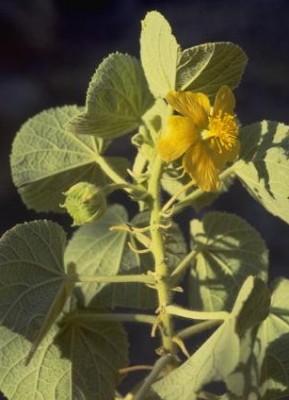 Abutilon hirtum (Lam.) Sweet