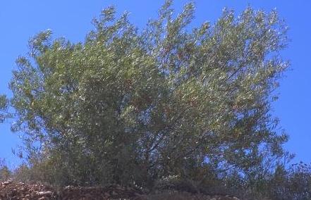 שיטה עגולת-הזרעים Acacia cyclops A.Cunn ex G.Don