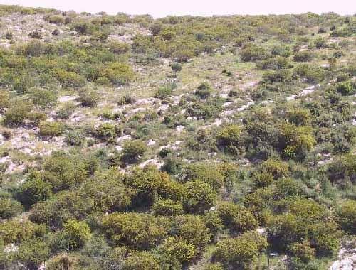 Acacia saligna (Labill.) Wendl.f.