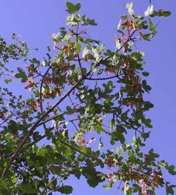 Acer monspessulanum L.