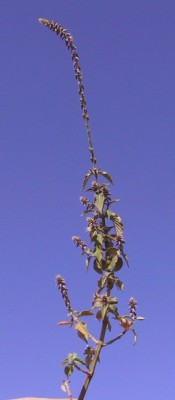 רב-מוץ מחוספס Achyranthes aspera L.
