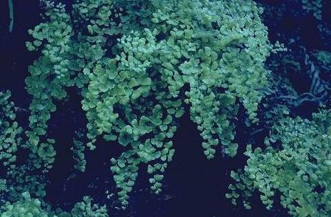 שערות-שולמית מצויות Adiantum capillus-veneris L.