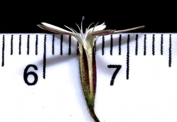 חלוק זהרי Petrorhagia zoharyana A.Liston