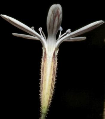Petrorhagia zoharyana A.Liston