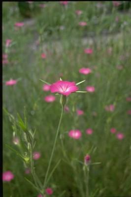 אגרוסטמת השדות Agrostemma githago L.