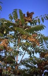 עצים בעלי עלים גדולים (90-40 ס