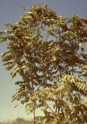 איילנתה בלוטית Ailanthus altissima (Mill.) Swingle