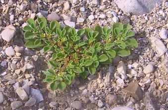 חייעד קנרי Aizoon canariense L.