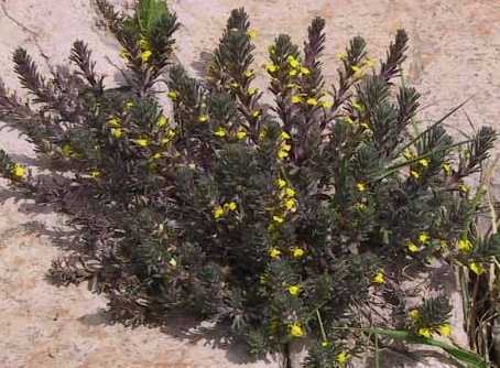 חד-שפה מצוי Ajuga chamaepitys (L.) Schreber subsp. chia (Schreber) Arcangeli