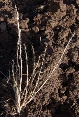 גודיניה שבירה Gaudinia fragilis (L.) P.Beauv.