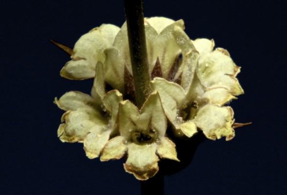 Sideritis libanotica Labill.