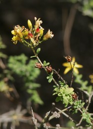 צמחי חורש של החבל הים-תיכוני, גדלים בעיקר על קירטון-חווארי.