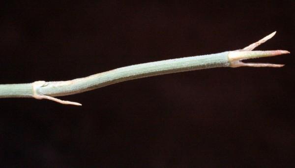 שרביטן הערבה Ephedra ciliata Fisch. & C.A.Mey..