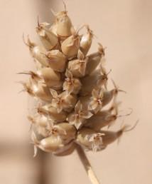 אורך עוקץ-התפרחת גדול פי 15-5 מאורך הקטע נושא הפרחים, ההלקטים בולטים מהתפרחת.