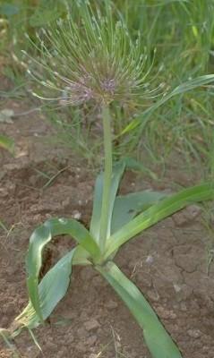 שום הגלגל Allium schubertii Zucc.