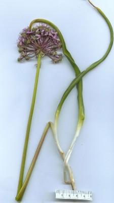 Allium tel-avivense Eig