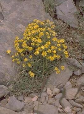 אליסון חרמוני Alyssum baumgartnerianum Bornm.