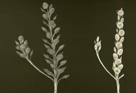 אליסון דמשקאי Alyssum damascenum Boiss. & Gaill.