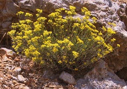 אליסון הסלעים Alyssum murale Waldst. & Kit.
