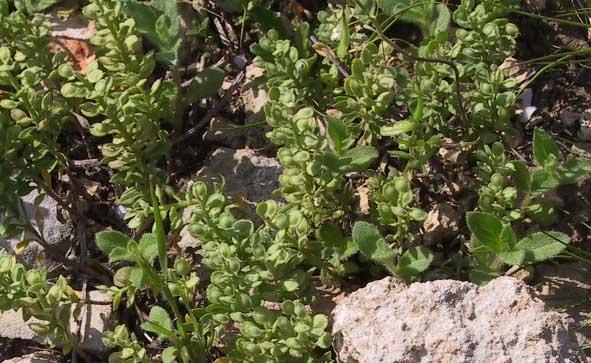 אליסון מצוי Alyssum simplex Rudolphi