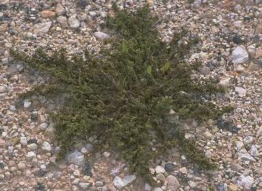 ירבוז שרוע Amaranthus blitoides S.Watson