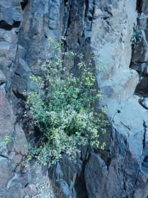 קייצת שלש-אונות Erigeron trilobus (Decne.) Boiss.