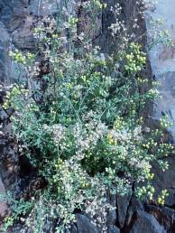 עשבים רב-שנתיים או בני-שיח של סלעים במדבר. הקרקפות מרובות, צבע הפרחים צהבהב.