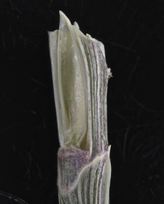ישרוע מאוגד Hemarthria altissima (Poir.) Stapf & C.E.Hubb.