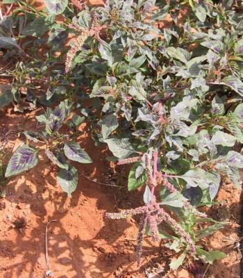 ירבוז קוצני Amaranthus spinosus L.