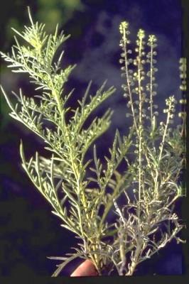 Ambrosia confertiflora DC.
