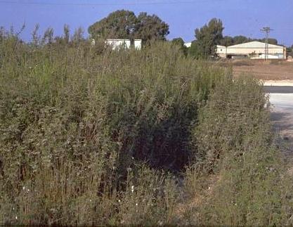 אמברוסיה צרת-עלים Ambrosia tenuifolia Spreng.