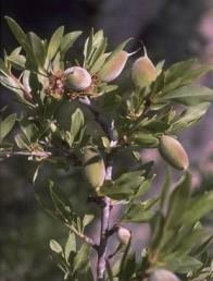 הפרי קירח (בעץ הטיפוסי על פיו תואר המין).