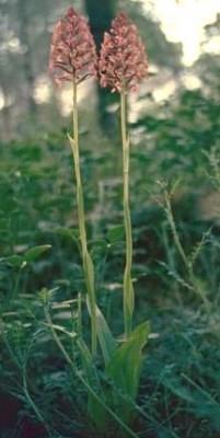 בן-סחלב צריפי Anacamptis pyramidalis (L.) L.C.M. Richard