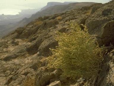 Anabasis setifera Moq.