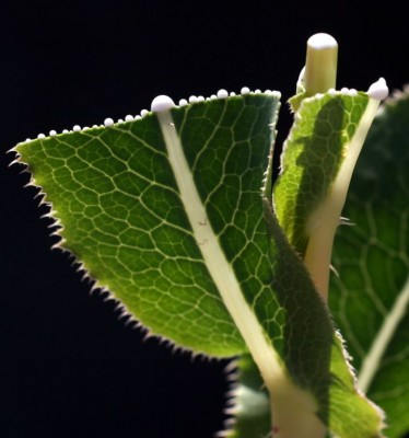 חסת המצפן Lactuca serriola L.