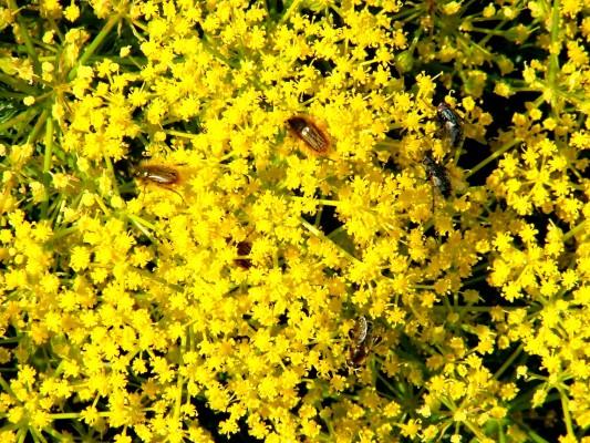 Prangos ferulacea (L.) Lindl.