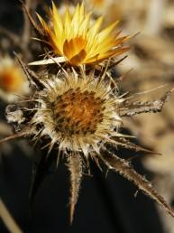 צמחים חד-שנתיים. צבע החפים הפנימיים של המעטפת צהוב, מסתיימים בקוץ חלש.